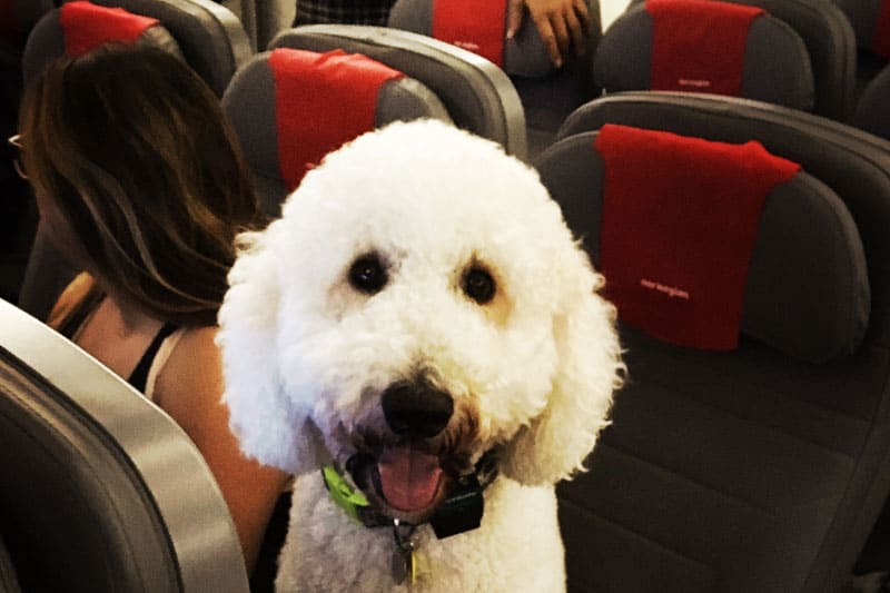 emotional support dog in a commercial airplane seat